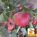 リンゴ:ふじ(富士)4〜5号ポット