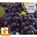 ブドウ:マスカットベリーA 挿木苗 4〜5号ポット