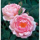 イングリッシュローズ:セプタード・アイル大苗5号角鉢植え