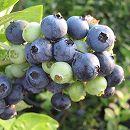 [収穫期7月中旬〜8月の中晩生種]ブルーベリー:ハーバード5号ポット