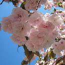 [淡紅色八重下垂咲・4月下旬開花]桜:普賢象(フゲンゾウ)接木苗4〜5号ポット
