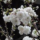 [白花八重丸弁咲・4月中〜下旬開花]桜:白妙(シロタエ)接木苗4〜5号ポット