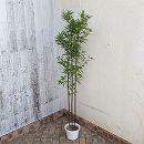クロチク(黒竹)3本立ち7号鉢植え
