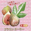 甘〜いミニイチジク:ブラウンターキー3号ポット