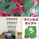 クレマチス栽培セット(フレグラーポット:30型アイボリー):プリンセスダイアナ(テキセンシス系)