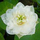 [17年5月中旬予約]花はす:雪の精4.5号ポット