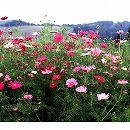 [タネ 春〜初夏まき 大輪長期開花の人気種]景観形成作物:コスモスセンセーション(中生)500g