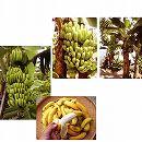 バナナ2種セット(三尺バナナ、沖縄島バナナ)3.5号ポット