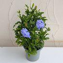 プルンバーゴ(ルリマツリ):ブルー5号鉢植え