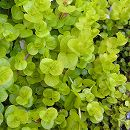 リシマキア ヌンムラリア オーレア3〜3.5号ポット 12株セット