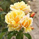デルバールローズ:ソレイユ・ヴァルティカル大苗長尺7号角鉢植え