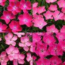 おためし4種12株セット:ナデシコ:花はな