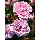 [17年5月中旬予約]つるバラ:レイニーブルー新苗