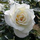 四季咲中輪バラ:ファビュラス!新苗