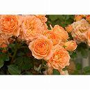 つるバラ:サンセット メモリー大苗6号鉢植え