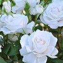 [17年5月中旬予約]ドリュ:アンナプルナ新苗4号鉢植え