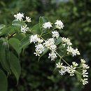 ナナコバナ(七子花)樹高2m根巻き