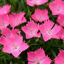ナデシコ:花はなライトサーモン3号ポット12株セット