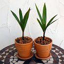 トックリヤシ4号テラコッタ鉢植え・受け皿付き 2鉢セット