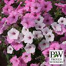 ペチュニア2色植え:スーパーチュニアビスタ(シルバーベリー&ピンク)4号ポット