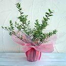 [記念樹・ギフトにおすすめ!]マートル(ギンバイカ・銀梅花):斑入り鉢植えラッピング付