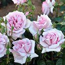 [17年5月中旬予約]ドリュ:アベイ・ドゥ・ヴァルサント新苗4号鉢植え