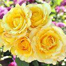 [17年5月中旬予約]ドリュ:ヴァンデ・グローブ新苗4号鉢植え