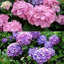 造園用アジサイ2種セット(在来種のアジサイ青花と西洋アジサイピンク系)