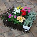 冬花壇の草花4種12株セット:バラ咲きプリムラとダスティミラー・ポリゴナム