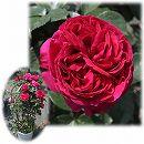 [バラ行燈予約]つるバラ:ルージュ・ピエール・ド・ロンサール8号大型アンドン仕立て