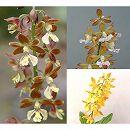 エビネ:春咲き野生種3種セット