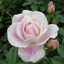 四季咲中輪バラ:ブラッシング・アイスバーグ新苗