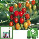 [17年4月中旬予約]トマトのかんたん栽培セット:アイコ 接木苗