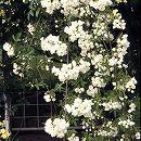 [送料無料]モッコウバラ:白花八重3号ポット28株セット