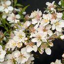 ニワザクラ(庭桜):白花一重4号ポット