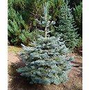 アルプスモミ:アリゾニカ7号ポット樹高30cm