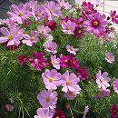 [タネ 春〜夏まき 草丈70cmの早生種]景観形成作物:コスモス・ポニー(わい性・早生)500g入り
