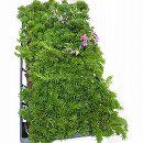 マット植物:シバザクラ ダニエルクッションのマット25cm×25cm 10枚セット