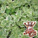 [17年5月中旬予約]コリウス:こっちに来ないで!(犬猫よけ植物)バリエガータ斑入葉3〜3.5号ポット