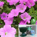 ランドスケープペチュニア:桃色吐息と鉢と土と苗のセット