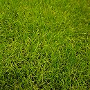 芝の種:西洋芝ペレニアルライグラス PNW 1kg