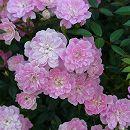 [17年5月中旬予約]つるバラ:宇部小町(うべこまち)新苗