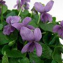 ニオイスミレ:ジャックサンプソン(薄紫)3〜3.5号ポット
