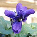 ニオイスミレ:ブレッド・バイオレット(重弁咲・紫)3〜3.5号ポット