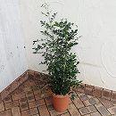 ゲッキツ(シルクジャスミン)8号鉢植え