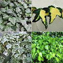 おためし4種12株セット:壁面緑化用ヘデラ