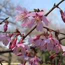 桜:おかめ桜(オカメザクラ)接木苗4〜5号ポット