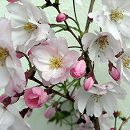 桜:思い川(オモイガワ)接木苗4〜5号ポット
