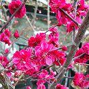 花梅:鹿児島紅(カゴシマベニ)接木苗4〜5号ポット