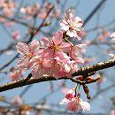 桜:修善寺寒桜(シュゼンジカンザクラ)接木苗5号ポット